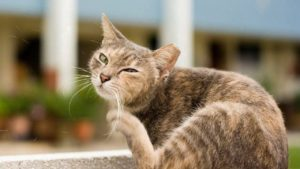 Ear Mites In Cats