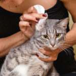 How To Treat Ear Mites In Cats? Here Is The Solution!
